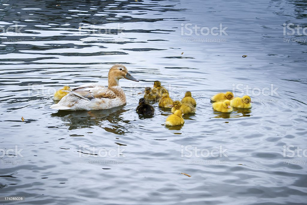 duck with little yellow chicks royalty-free stock photo