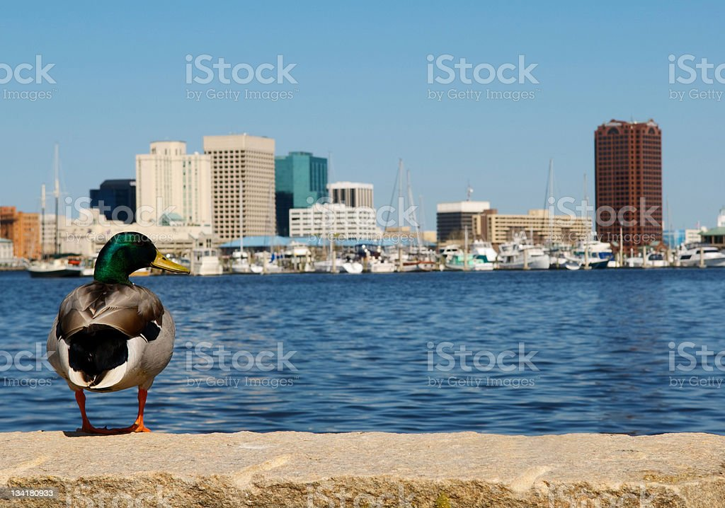 Duck  with Norfolk Skyline in Background stock photo