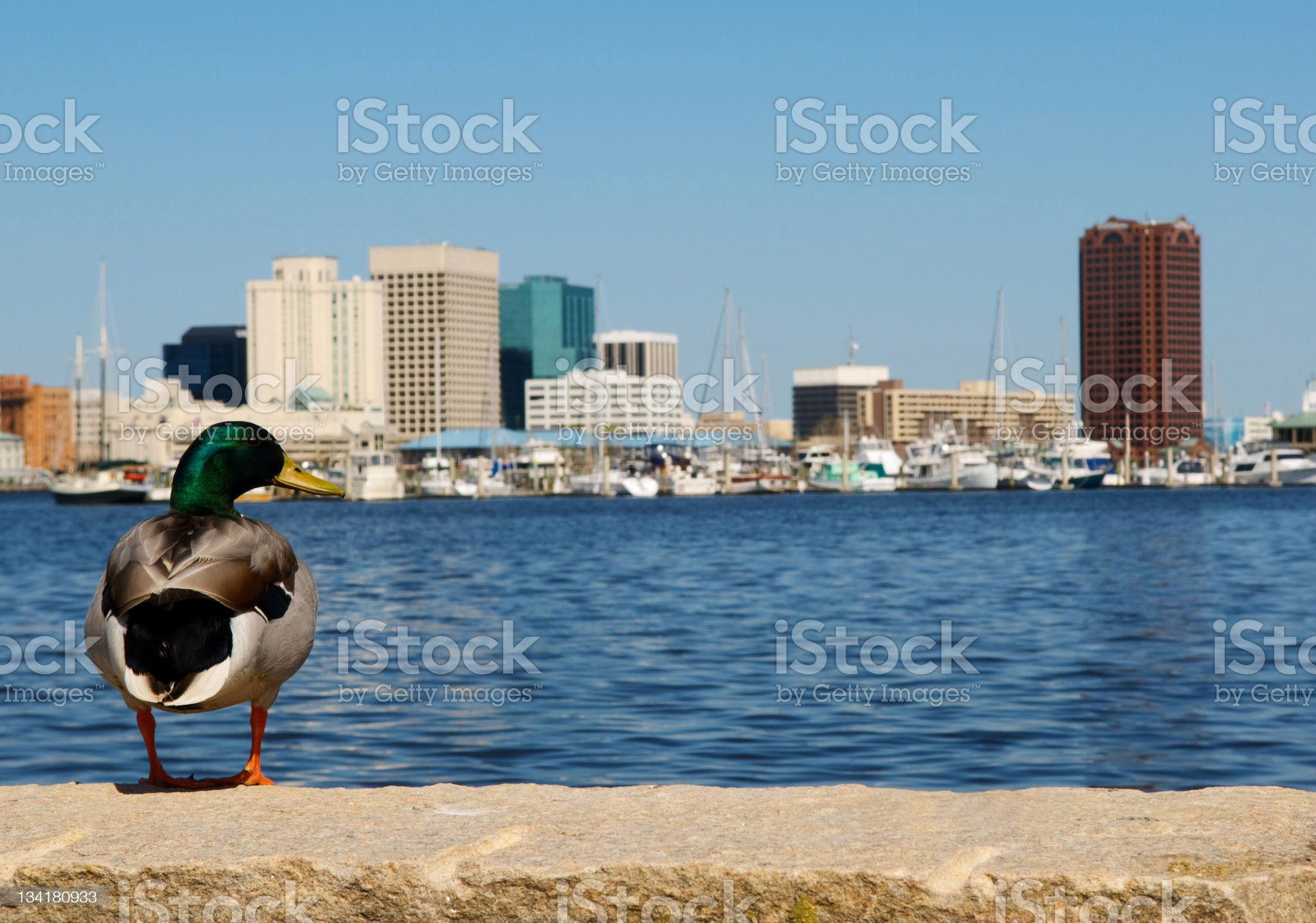Duck  with Norfolk Skyline in Background royalty-free stock photo