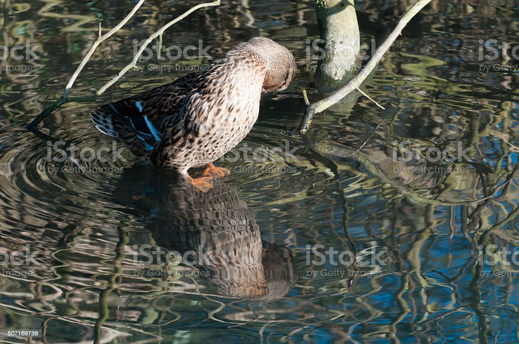 duck with reflections stock photo