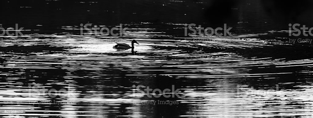 Duck with Water Rings in Panoramic B&W stock photo