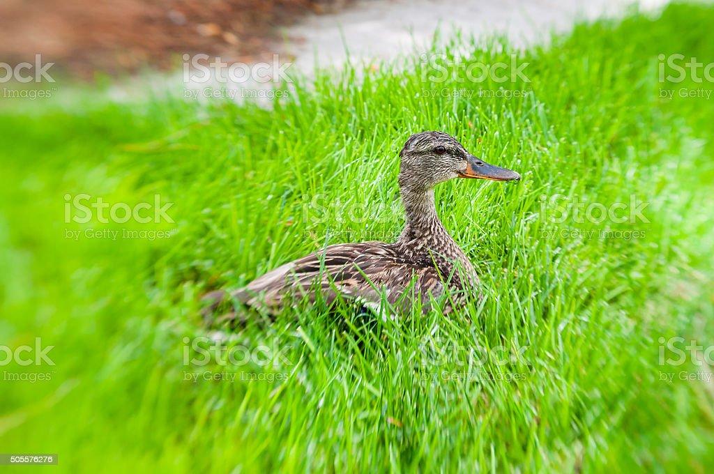 Duckbaby stock photo