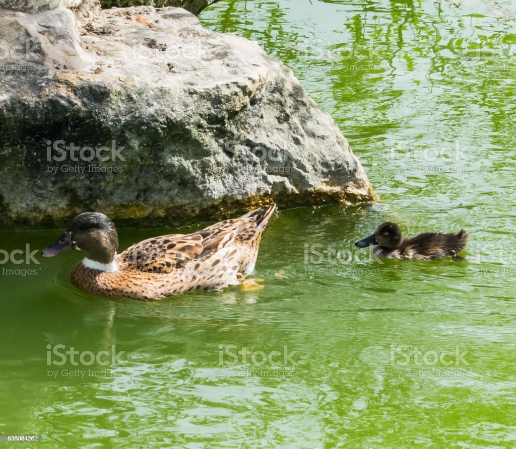 Duckling following mother duck! stock photo