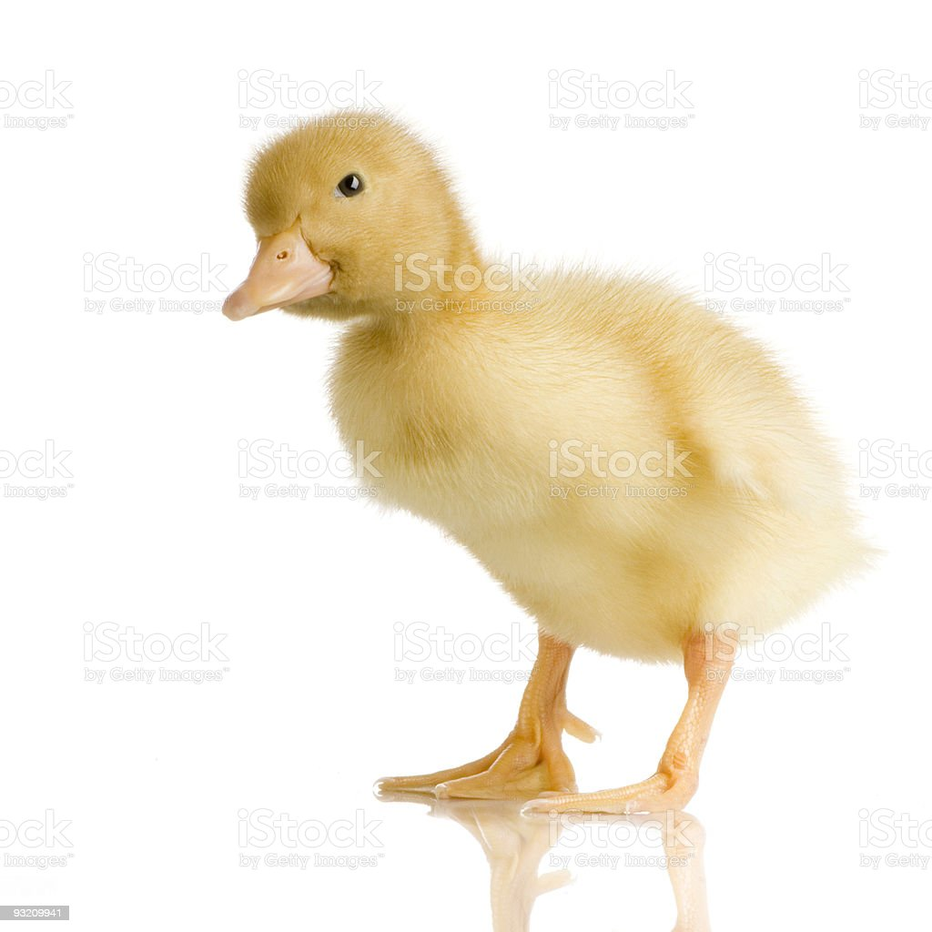 Duckling four days royalty-free stock photo