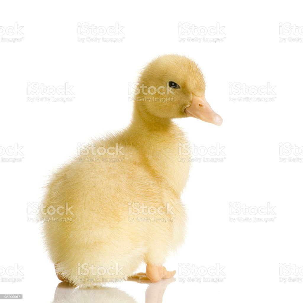 Duckling four days stock photo