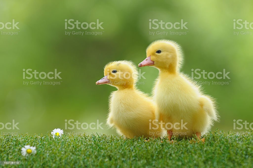 duckling four stock photo