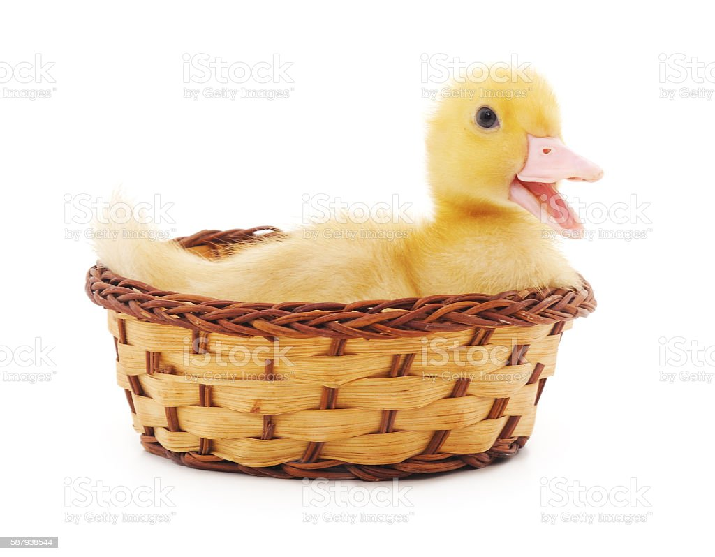 Duckling in a basket. stock photo
