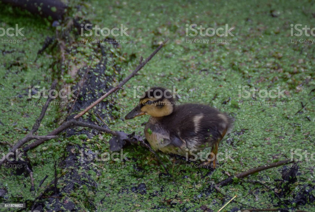 Duckling in the water stock photo