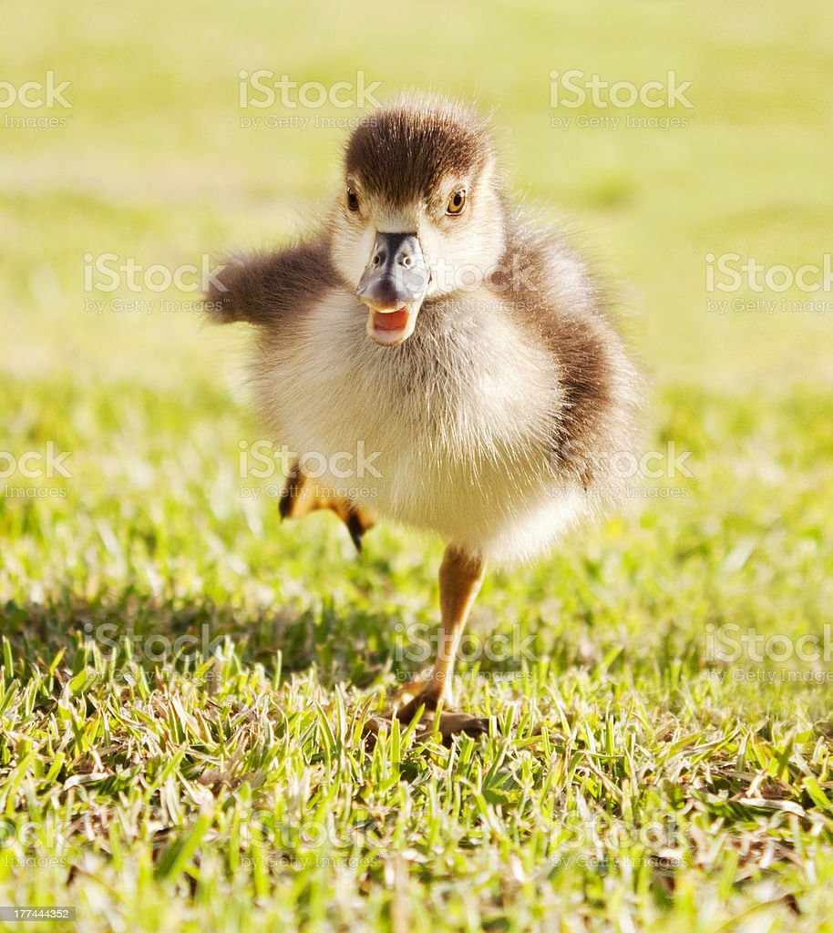 Duckling on the run stock photo