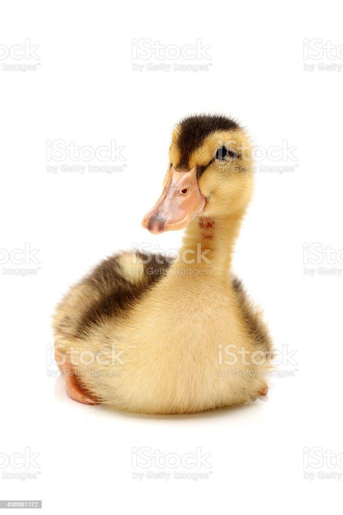 Duckling stock photo
