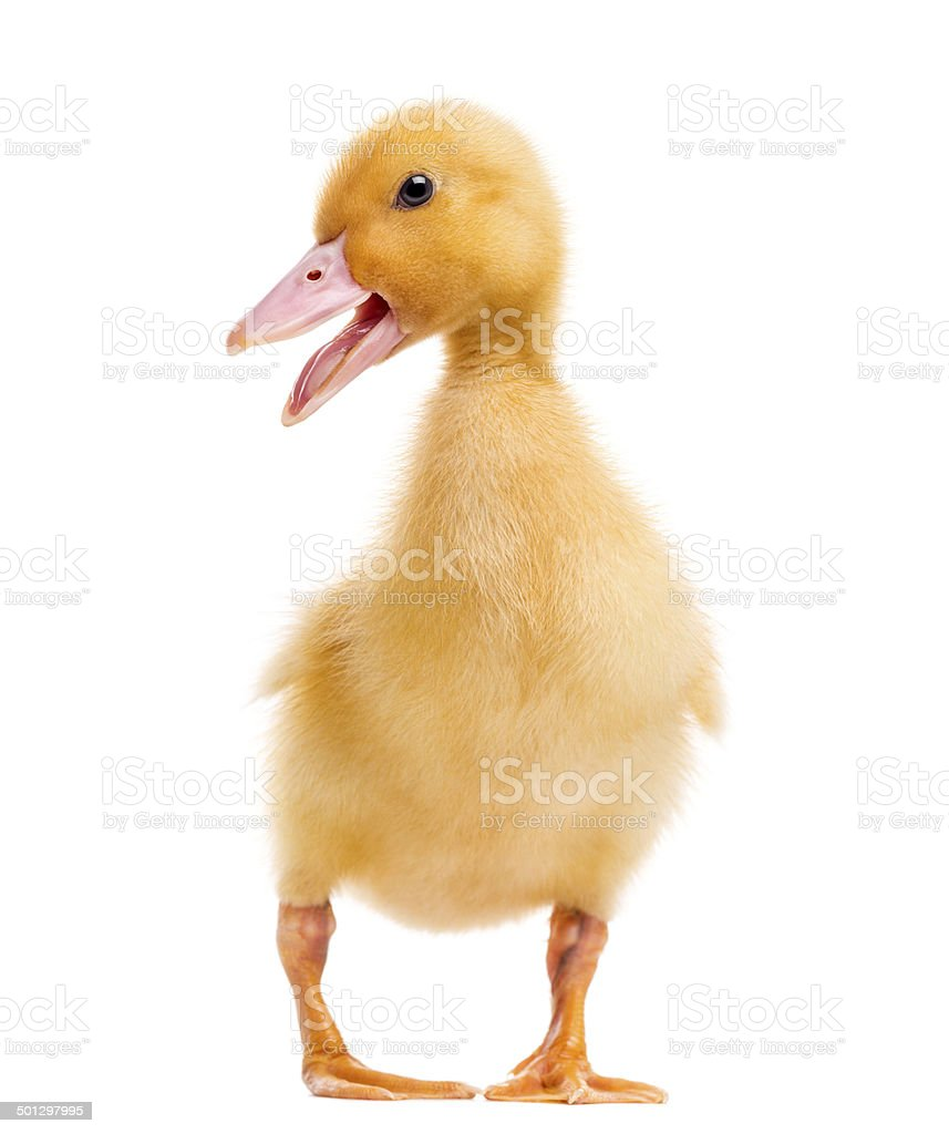 Duckling (7 days old) quacking, isolated on white stock photo