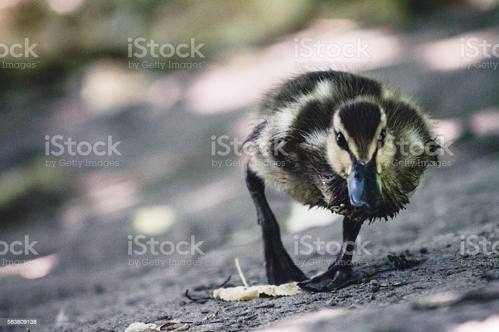 Duckling Running stock photo
