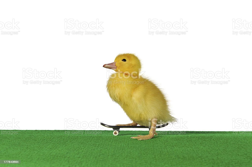 duckling skate royalty-free stock photo