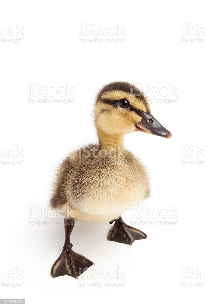 duckling standing isolated on white stock photo