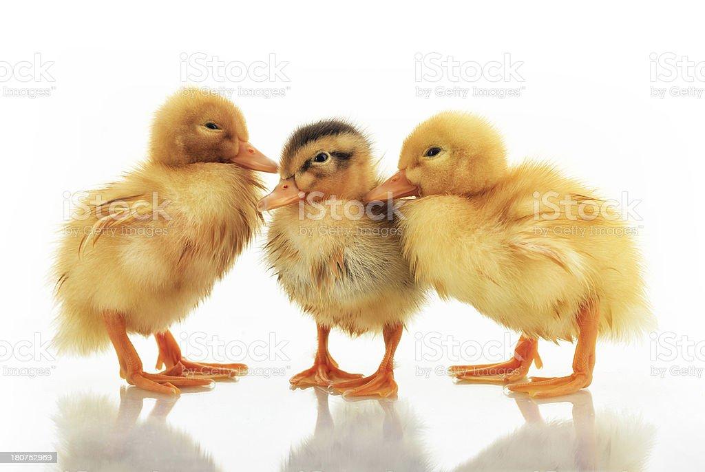Duckling three days royalty-free stock photo