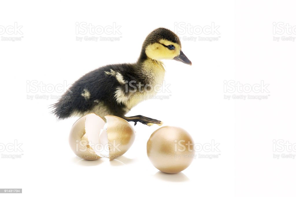 Duckling with golden eggs royalty-free stock photo