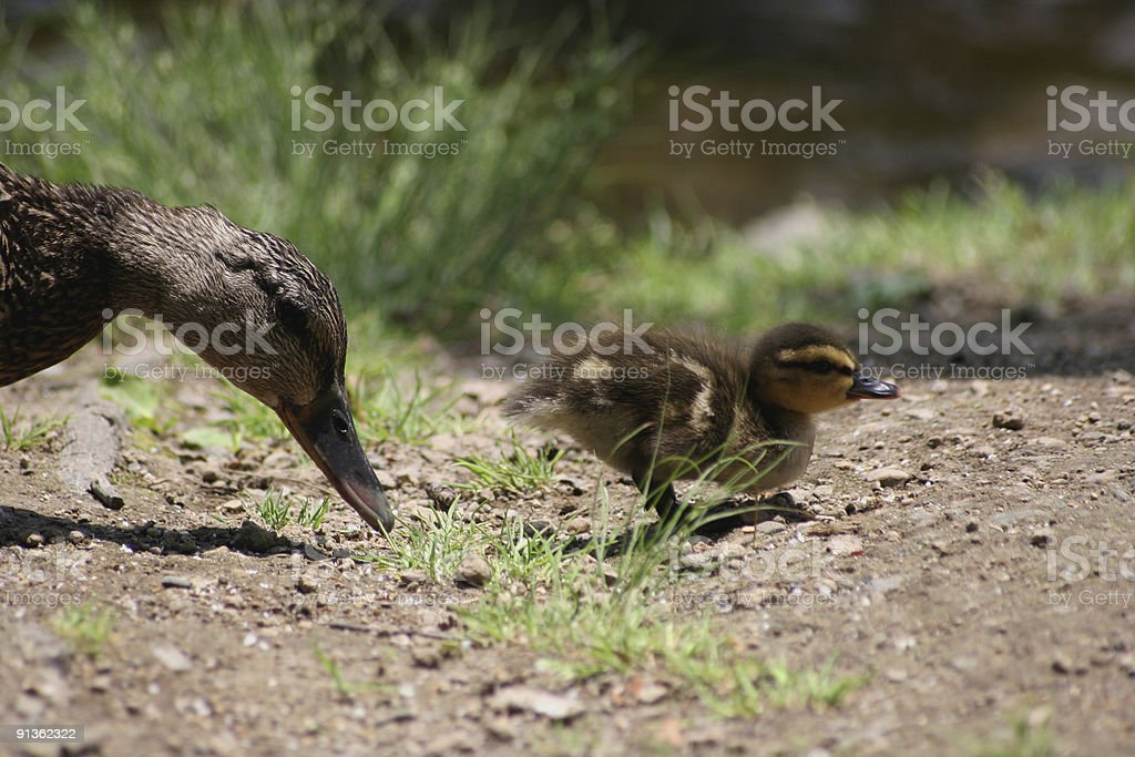 Duckling with his mother stock photo