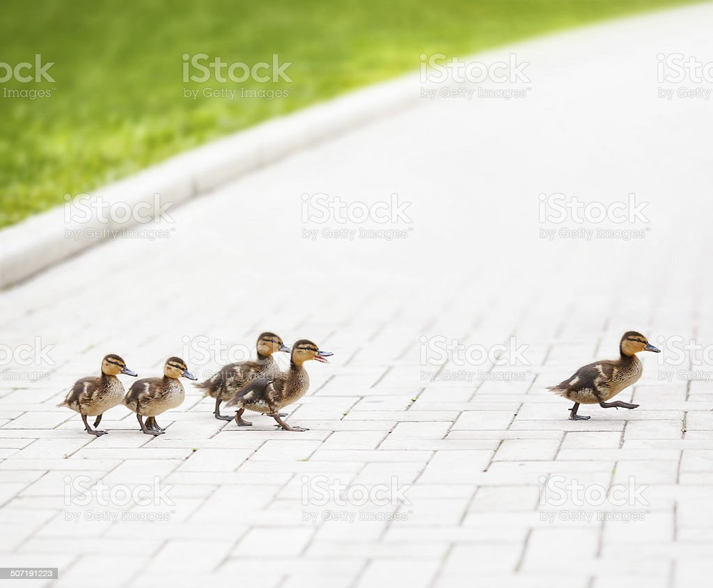 Ducklings go across the road stock photo