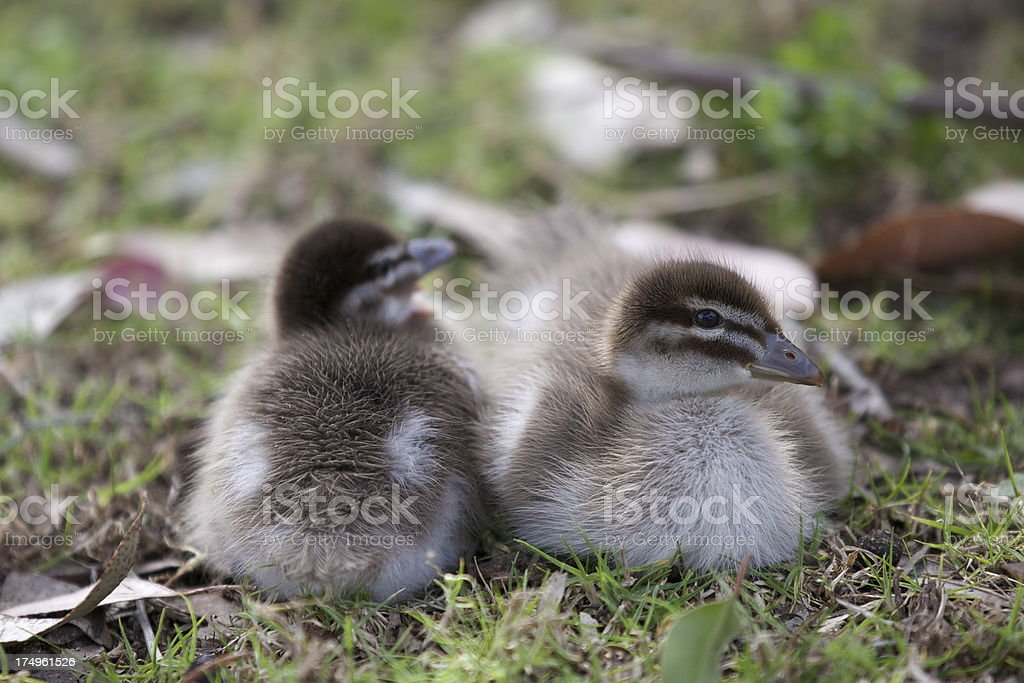 Ducklings royalty-free stock photo