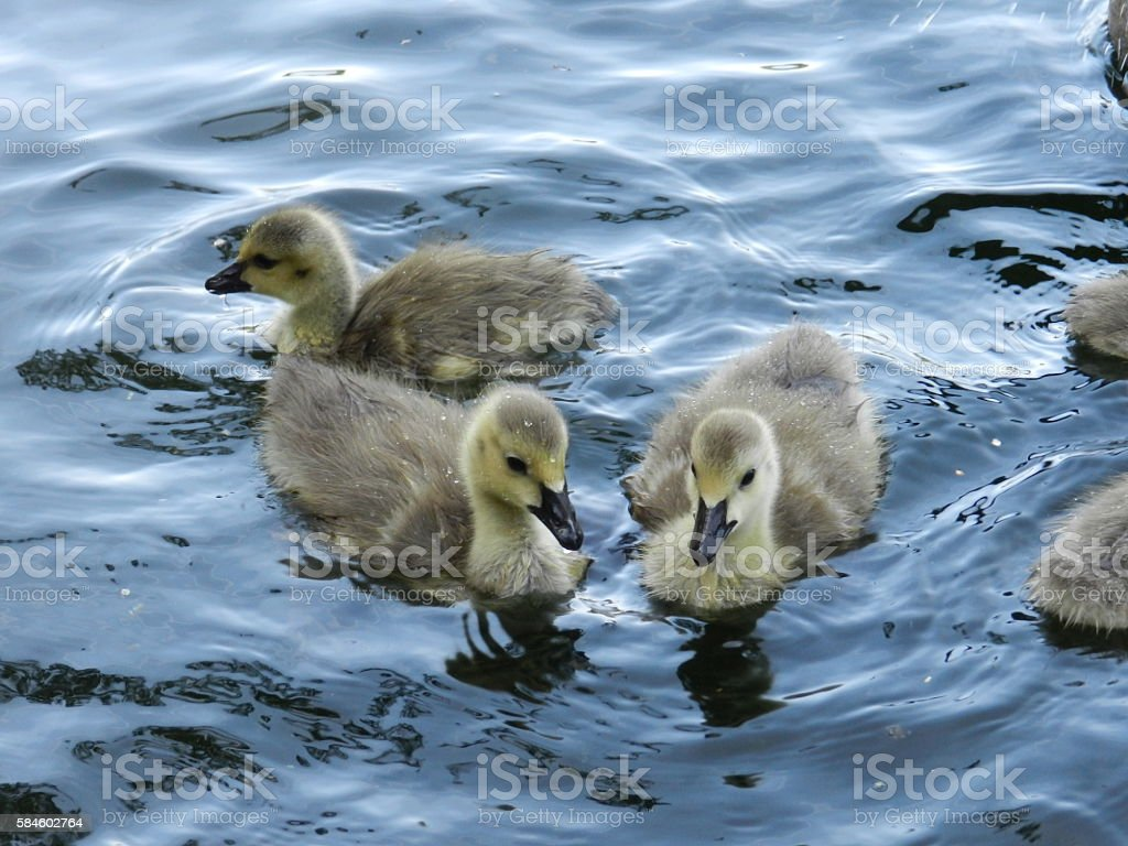 Ducklings stock photo