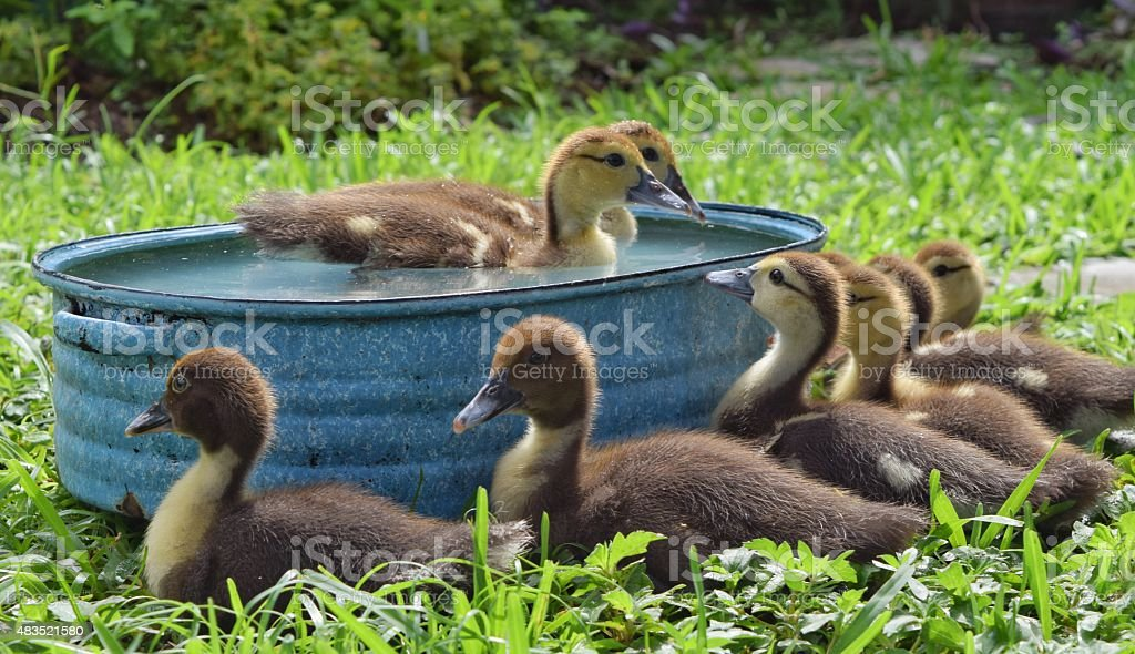 Ducklings swimming stock photo