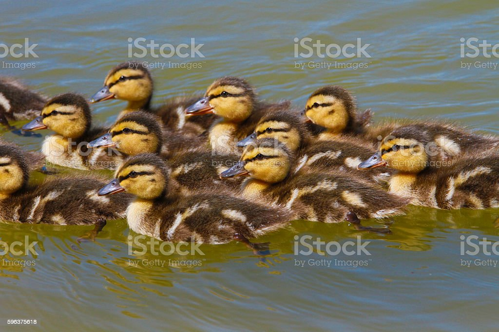 Ducklings Swimming - Stock Image stock photo