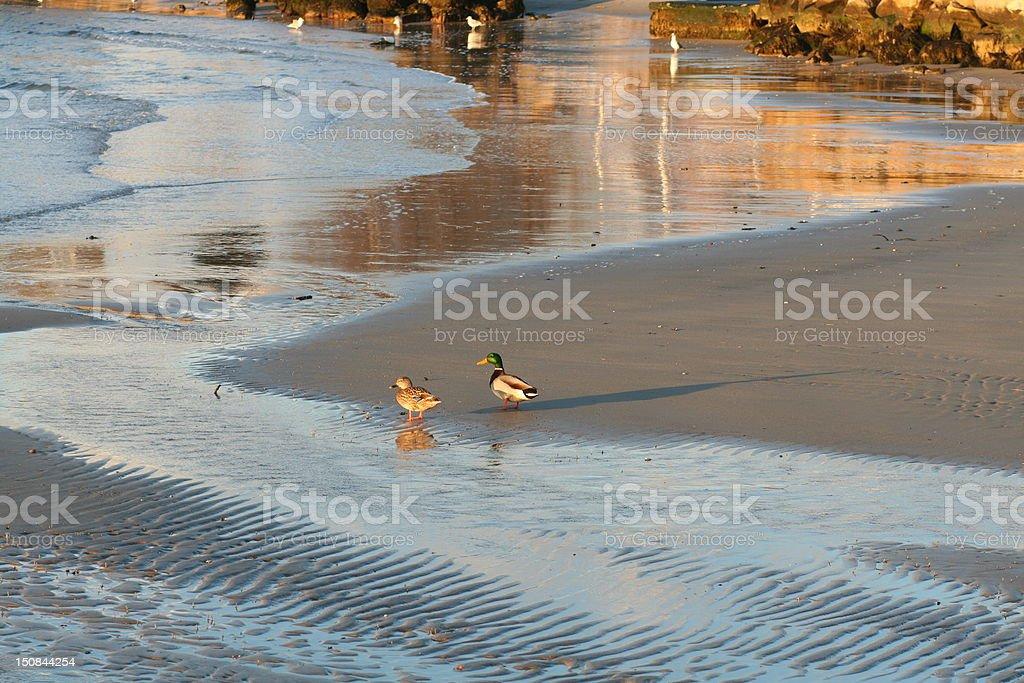 Ducks 02 stock photo