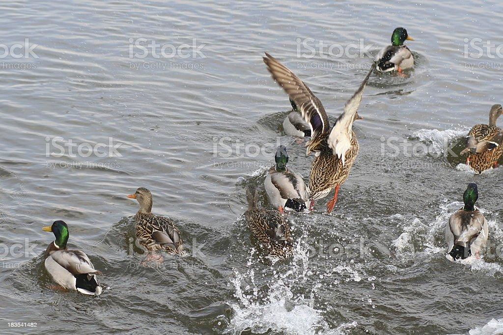 Ducks 04 stock photo