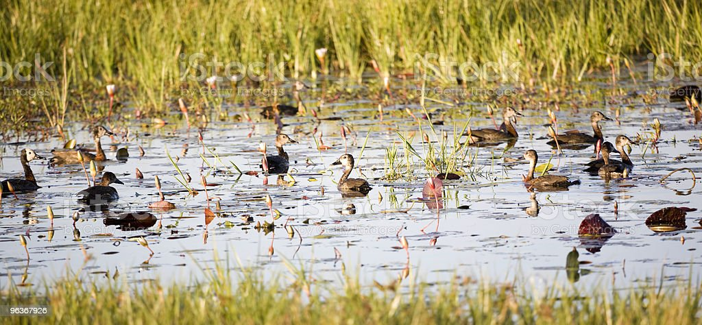 Ducks and Lilies royalty-free stock photo