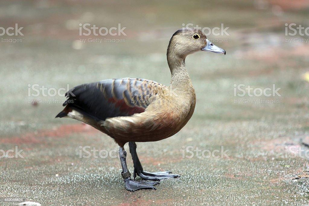 Ducks are nice stay. stock photo