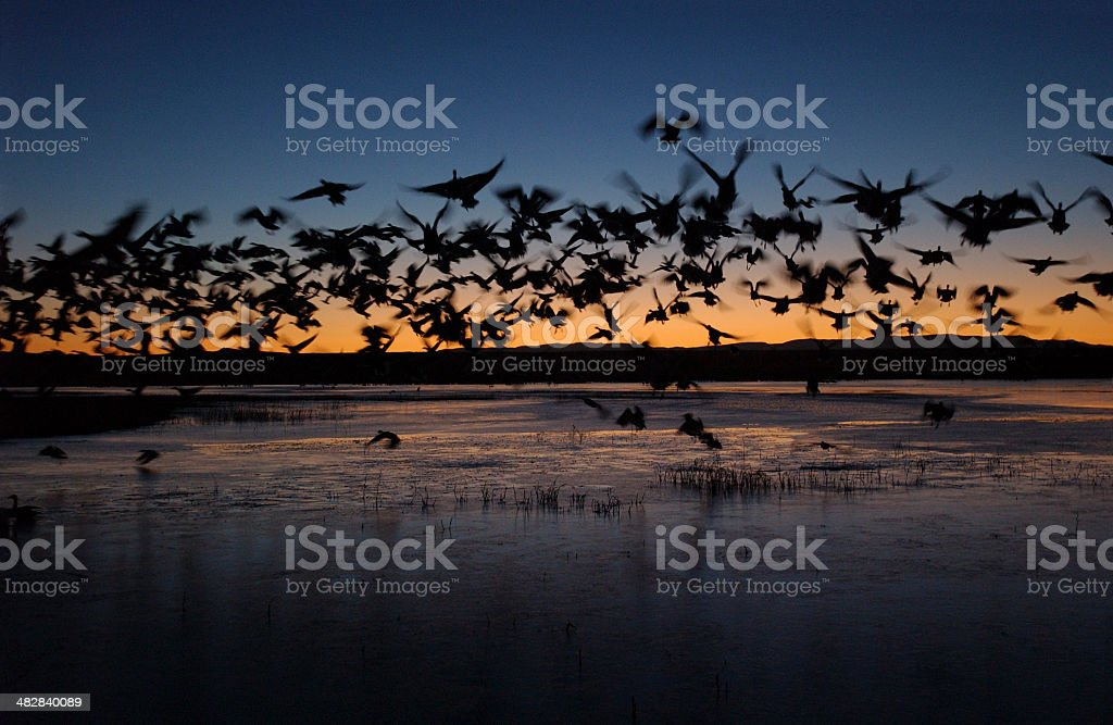 Ducks at First Light royalty-free stock photo