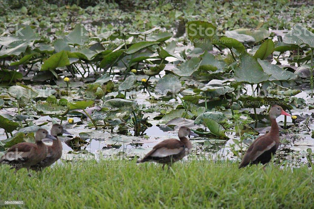 Ducks at Lake stock photo