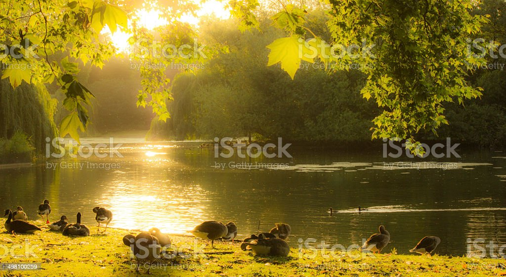 Ducks at St James's Park in London stock photo