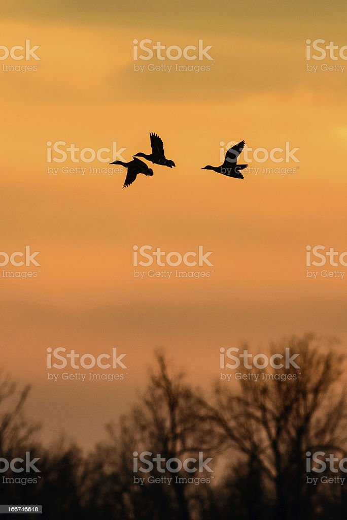 Ducks at sunset royalty-free stock photo