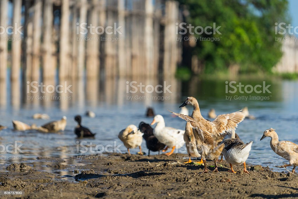 Ducks at U Bein bridge, Mandalay, Myanmar stock photo