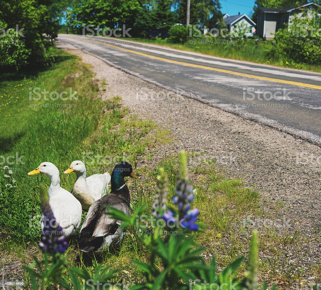 Ducks by the Road stock photo