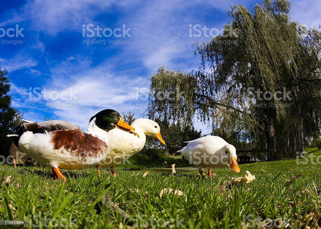 Ducks competing stock photo