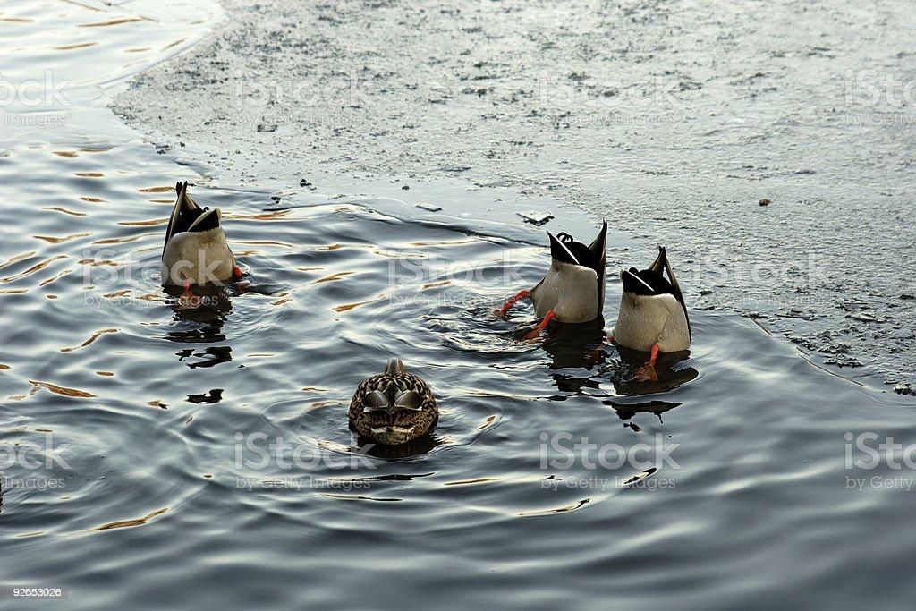 ducks diving royalty-free stock photo