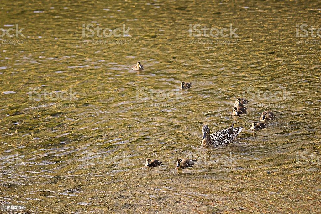 Ducks Family at Seoul, South Korea. stock photo