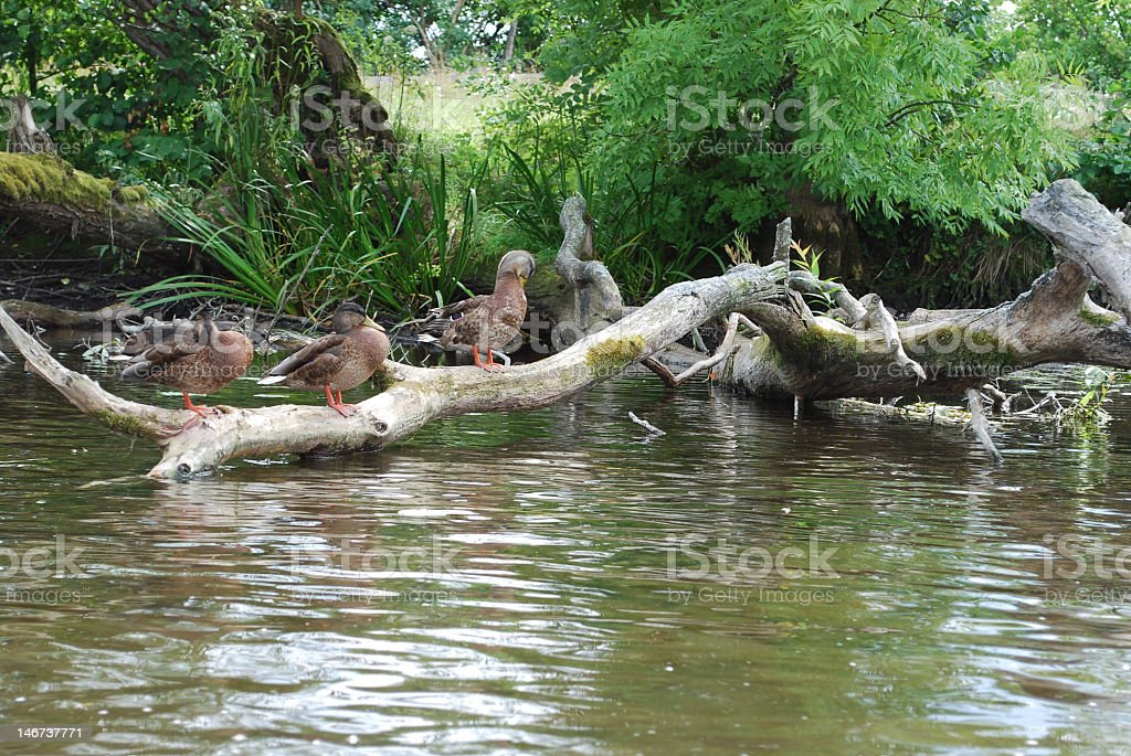 Duck's family by the Krutynia river stock photo