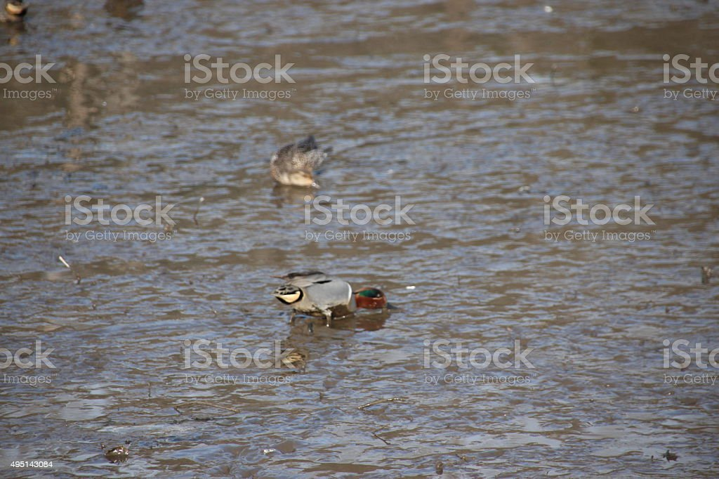 Ducks feeding on tidal flats stock photo