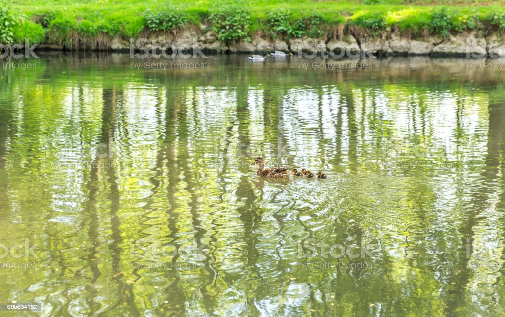 Ducks floating on the river Fiume Lambro passing through the park in Milan stock photo