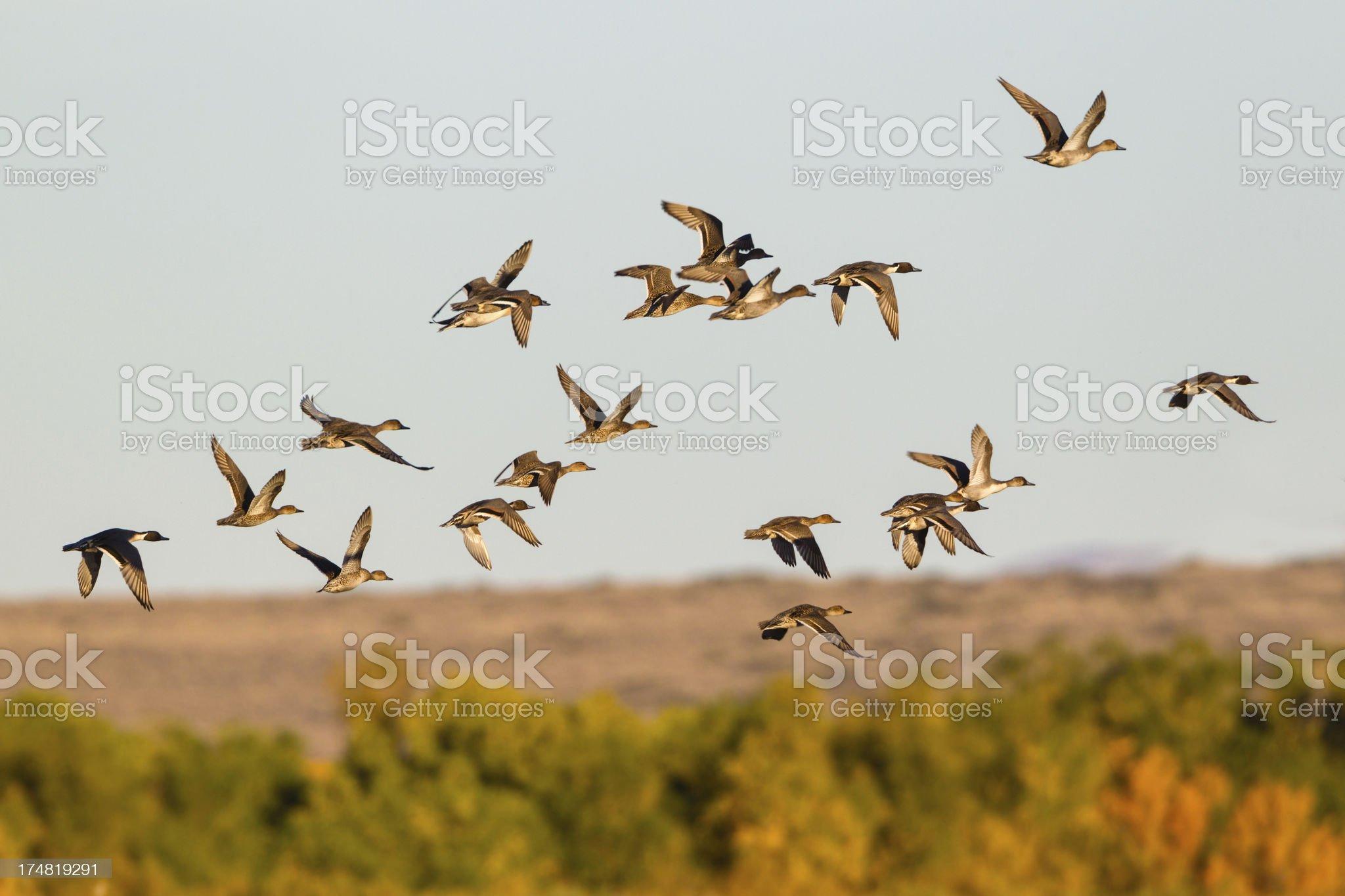 Ducks Flying in Autumn royalty-free stock photo