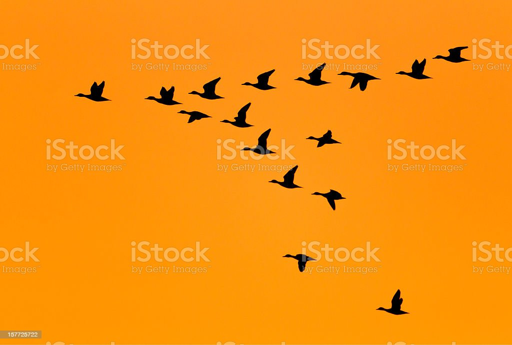 Ducks flying in V Formation at Sunrise stock photo