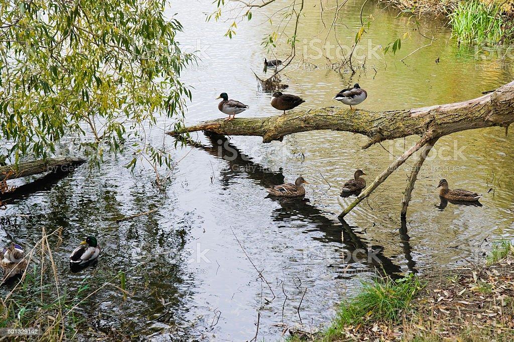 Ducks galore! royalty-free stock photo