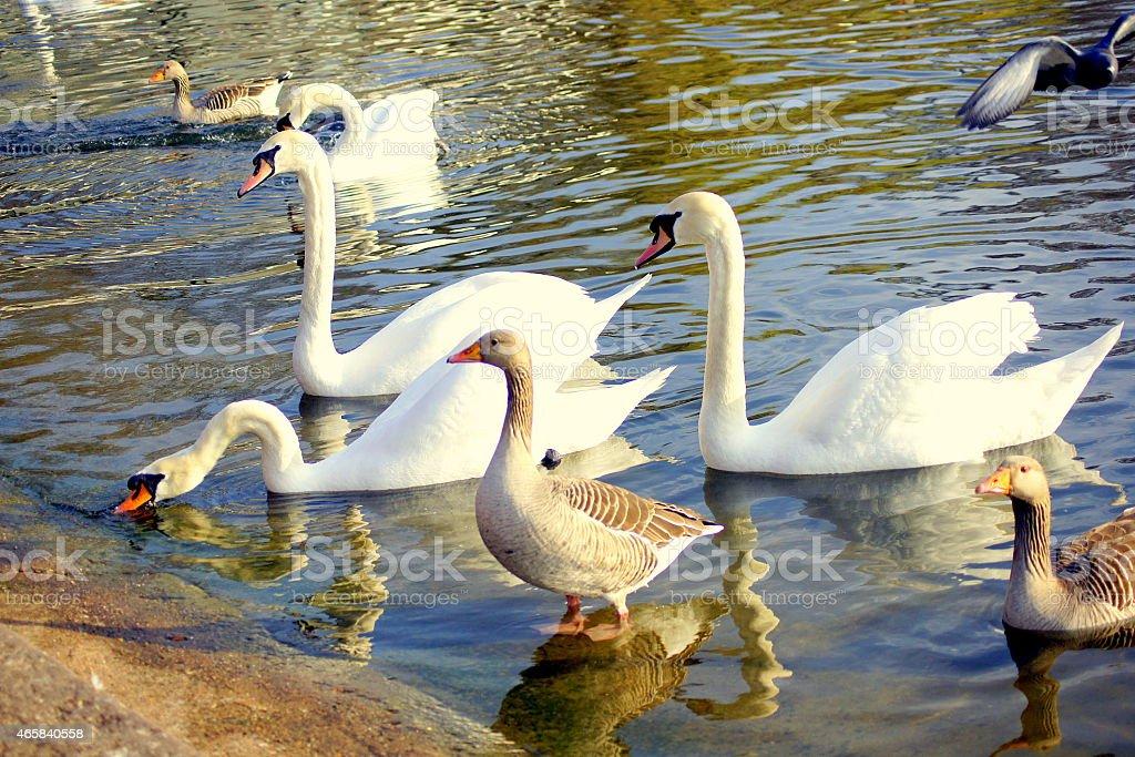 Ducks Geese & Swans stock photo