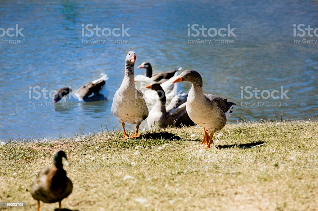 Ducks, geese swim in creek in Texas Hill Country park. stock photo