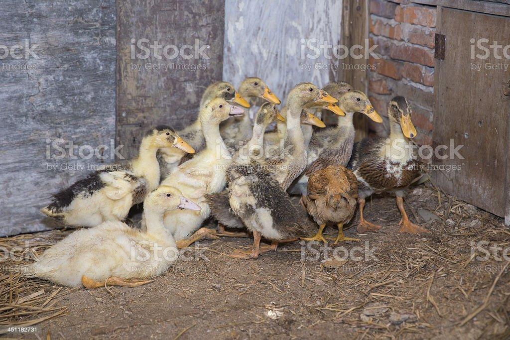Ducks in a Barton stock photo