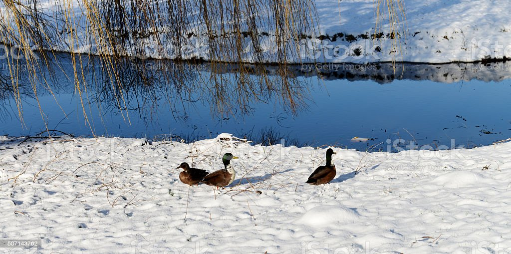 Ducks in a winterlandscap in Edam stock photo