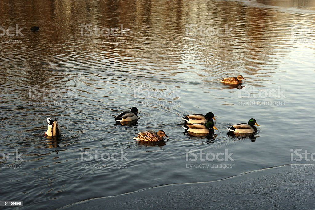ducks in formation royalty-free stock photo